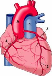 Herzkranzgefaesse